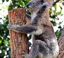 Koala by Laurel Talabere