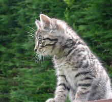 Kitten by Ken1