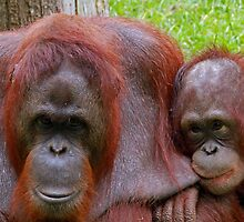 Mother & Baby Orangutans by Ian Marshall