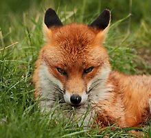 Sly Fox by Ian Marshall