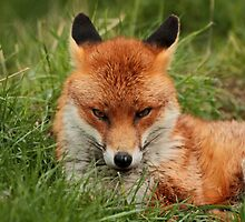 Sly Fox by Ian Marshall