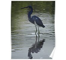 Blue heron fishing in the River Cuale Poster