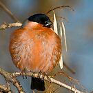 Eurasian Bullfinch (Pyrrhula pyrrhula)  by Vasil Popov