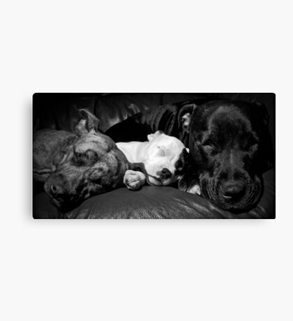 Cookie,Molly,Alfie - the Staffie Family Canvas Print