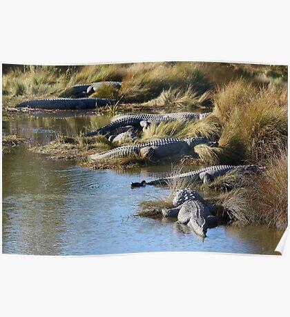 Alligators Abound Poster