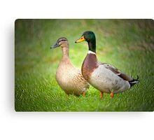 Mr & Mrs Mallard Canvas Print