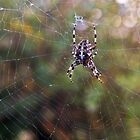 Spider on Web by Andrew Lawrence