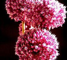Allium sp. by joancaronil