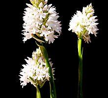 Orchis pyramidalis by joancaronil