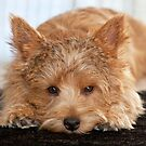 Norwich Terriers by susan stone