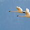 Trumpeter Swan Pair In Flight by A.M. Ruttle