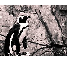 Hungry Penguin Photographic Print