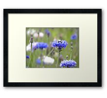 BumbleBee in Field Scabious Framed Print