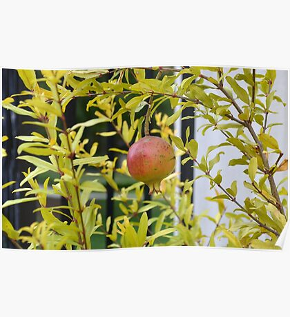 Pomegranate Growing in a Garden Poster