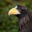 Stellers Sea Eagle by Daniela Pintimalli