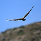 Northern Harrier Flying Over the Hills by DARRIN ALDRIDGE