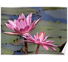 Two Pink Water Lilies and a Dragonfly Poster
