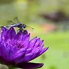 Purple Water Lily and a Dragonfly by Sabrina Ryan