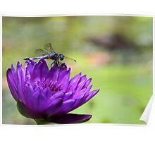 Purple Water Lily and a Dragonfly Poster