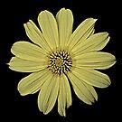 Sunflower by Bill Wetmore