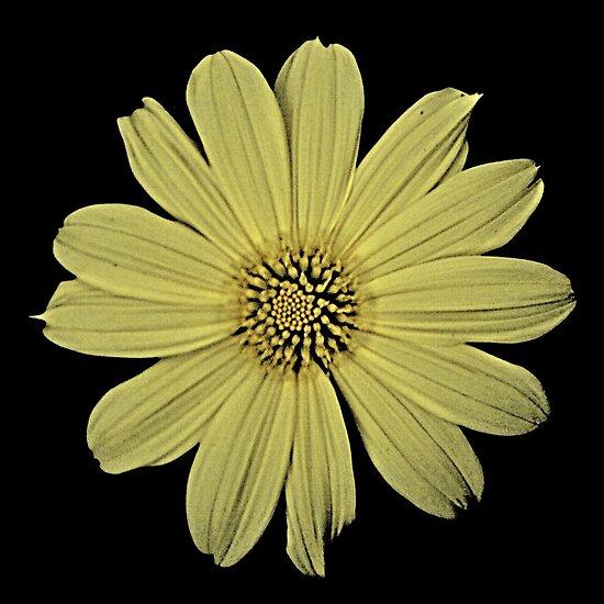 Sunflower by njordphoto