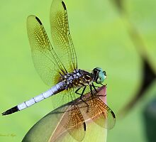 Awesome Blue Dasher Dragonfly by Sabrina Ryan
