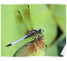 Awesome Blue Dasher Dragonfly Poster