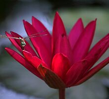 Red Water Lily and a Dragonfly by Sabrina Ryan