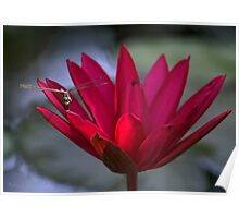 Red Water Lily and a Dragonfly Poster