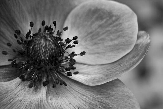 Anemone by Ubernoobz