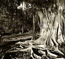 Indian Rubber Tree by jaeepathak