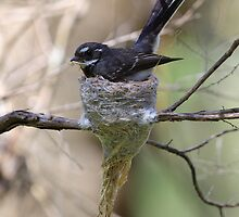 Grey Fantail. by Donovan wilson