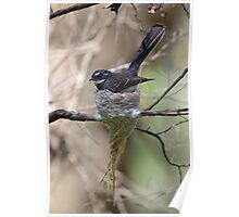 Grey Fantail. Poster