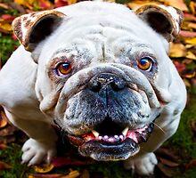 Bulldog by Ubernoobz