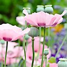 Rose Poppies blooming by yurix