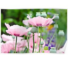 Rose Poppies blooming Poster