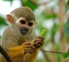Young Squirrel Monkey