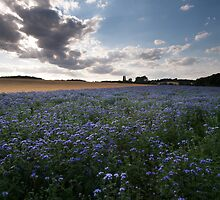 Evening light on phacelia crop by Christopher Cullen