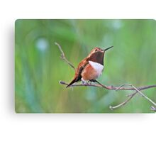 Male Rufous Hummingbird Metal Print
