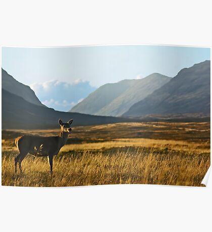 Wild Red Deer Grazing Poster