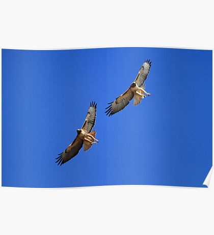 Red Tails Together in Flight Poster