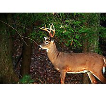 White-Tailed Buck Photographic Print