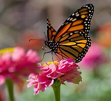 Backlit Monarch Butterfly on Flower by Gerda Grice
