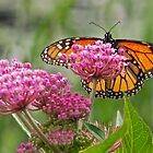 Monarch on Flower by John Butler