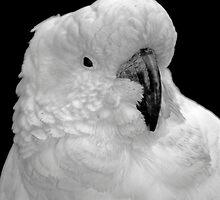 Wild Cockatoo by Darren Clarke