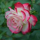 Pink and White Rose by Paula Betz
