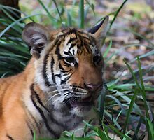 Malayan Tiger Cub Portrait by Gail Falcon