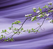 Dogwood on Silk (Dogwood Blossoms over the Merced River) by Robin Black