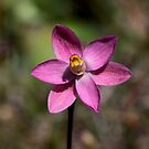 ~ Sun Orchid ~ by LeeoPhotography