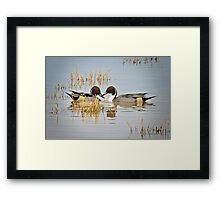 A Pair of Northern Pintail Ducks  Framed Print
